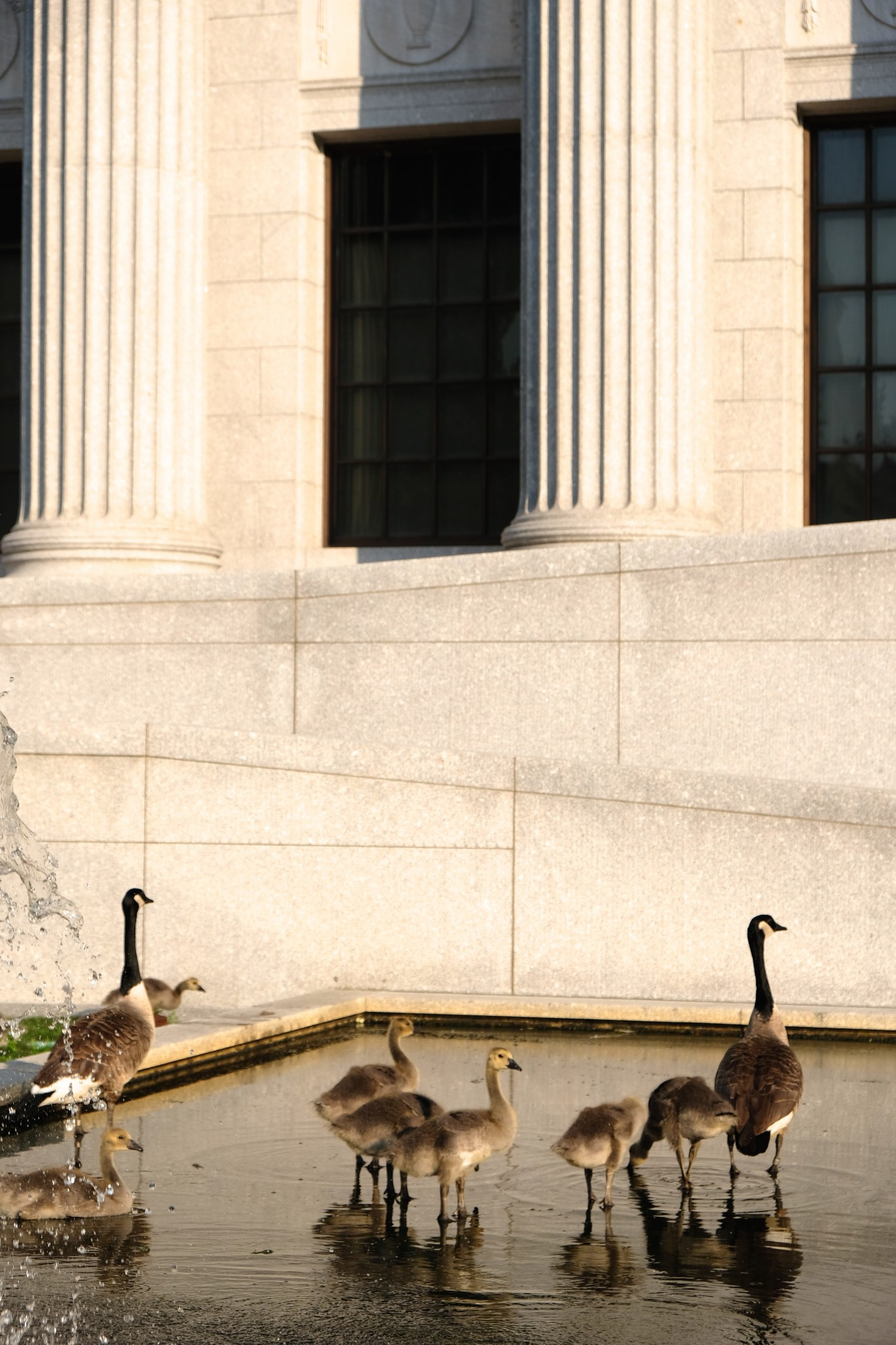 canadian geese, boston, the-alyst.com