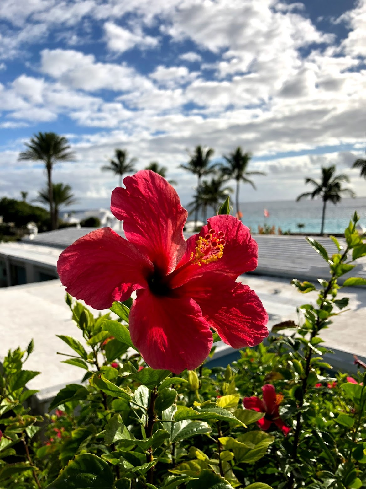 hibiscus, bermuda, the-alyst.com